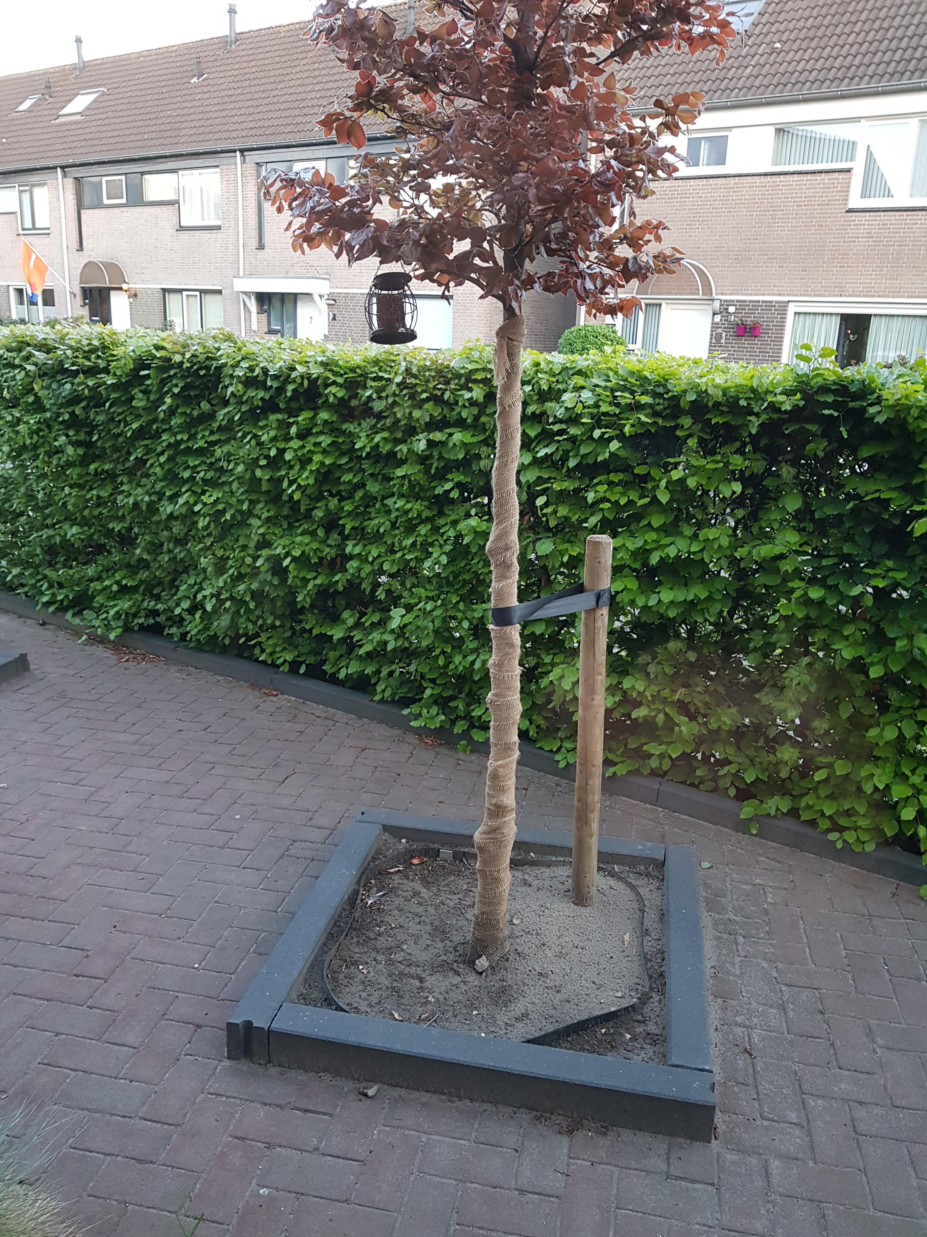 Jute band voor boombescherming op rol gebruik: Bescherming bast beukenboom